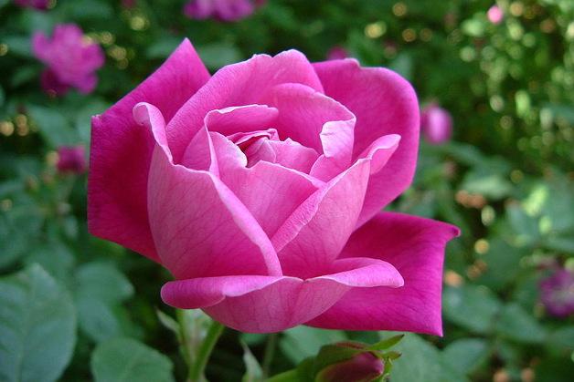 1261 0 potatura_delle_rose_ok