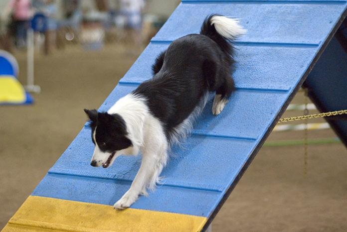 1281 0 Lagility dog