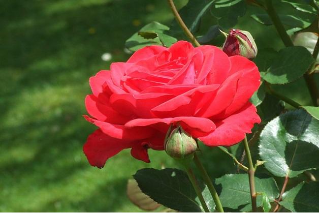 1585 0 potatura_autunnale_delle_rose