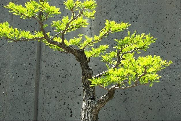 1588 0 potatura_autunnale_del_bonsai