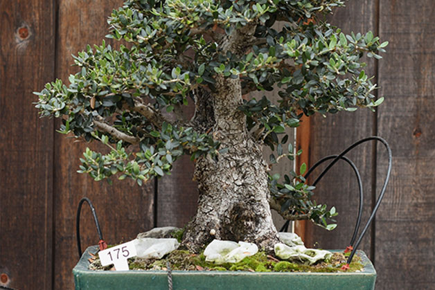 1622 0 l_olivo_bonsai
