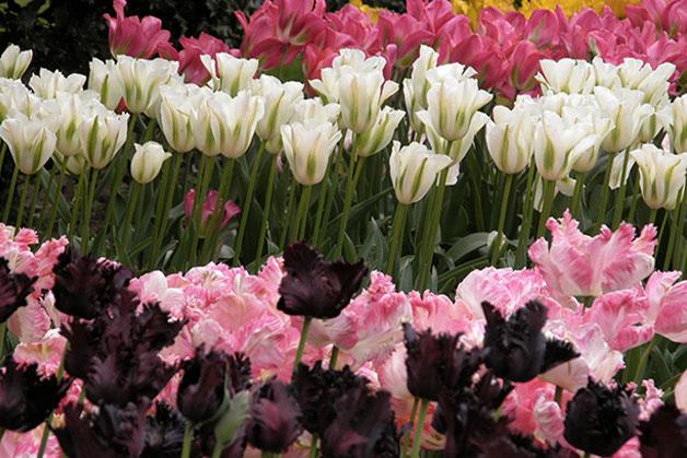 1632 0 la_cura_dei_tulipani