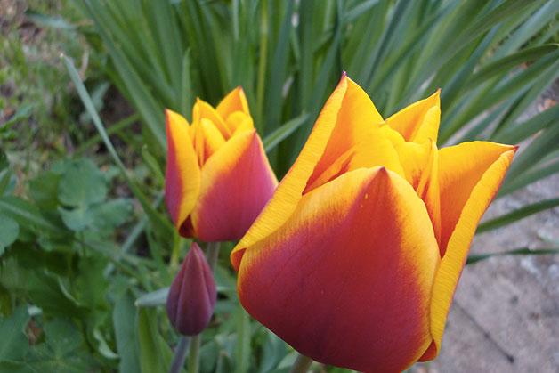 1636 0 le_varieta_del_tulipano