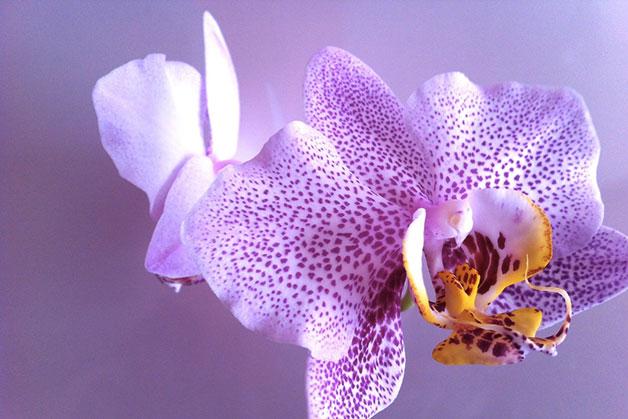1637 0 l_orchidea