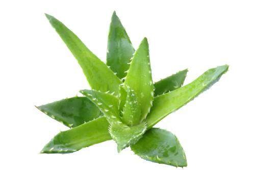 45 0 Aloe
