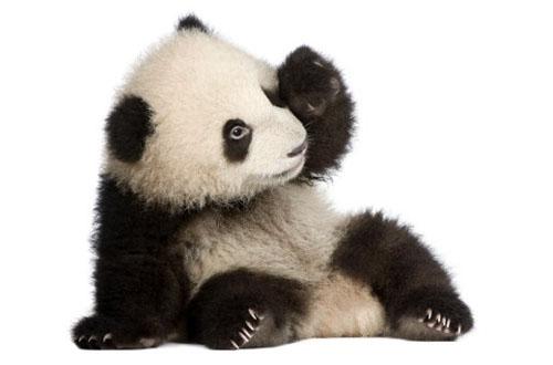 595 0 Panda