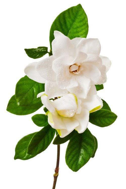 64 0 Gardenia